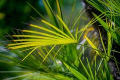 Palma w parku, Rijeka, Chorwacja Zdjęcie Stock