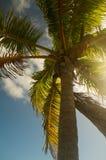 Palma Wispy Foto de Stock Royalty Free