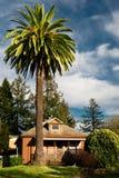 Palma y pino Imagen de archivo libre de regalías