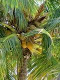 Palma y su fruta Imagen de archivo
