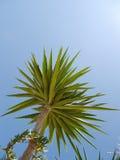 Palma z błękitnym letniego dnia tłem Obrazy Stock