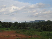 Palmaanplanting Royalty-vrije Stock Afbeelding