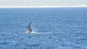 Palmada de la cola de la ballena derecha