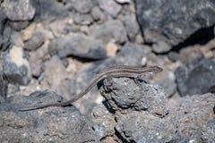 Palmae de galloti de gallotia de Palma Lizard de La se reposant sur la roche volcanique de lave au soleil images stock