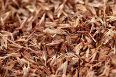 Palmarosa grass seeds (Cymbopogon martinii) Royalty Free Stock Images