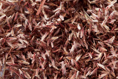 Palmarosagrassamen (Cymbopogon-martinii) Lizenzfreies Stockfoto