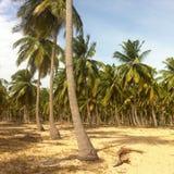 palmas Imagem de Stock