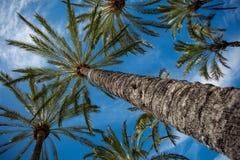 Palmas contra el cielo azul Foto de archivo libre de regalías