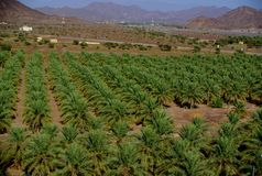 Palmas datileras de Jabrin, Omán Imagen de archivo