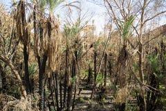 Palmas datileras después del fuego Imagen de archivo