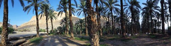 Palmas datileras en En Gedi, Israel Imagen de archivo libre de regalías