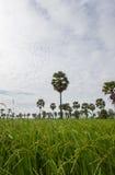 Palmas de açúcar e campos do arroz das hortaliças na província de Phetchaburi, Tailândia Imagem de Stock