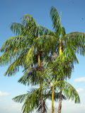 Palmas de Acai Foto de Stock