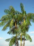 Palmas de Acai Foto de archivo