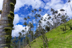 Palmas de cera e céu azul Imagem de Stock