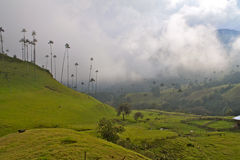 Palmas de cera gigantes, vale de Cocora, Colômbia Imagens de Stock