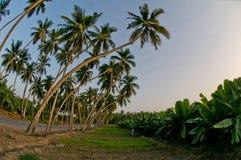 Palmas de coco Foto de archivo libre de regalías