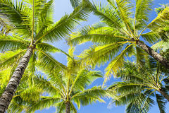 Palmas de coco Foto de Stock