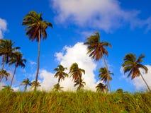 Palmas de coco Fotografia de Stock