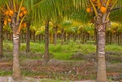 Palmas de coco Imagens de Stock