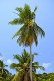 Palmas de coco en fondo del cielo azul Imagenes de archivo