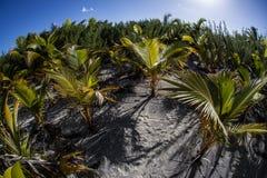 Palmas de coco en la isla polinesia Imagenes de archivo