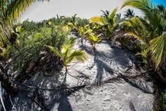 Palmas de coco jovenes Foto de archivo