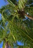 Palmas de Cocos tailandesas Imagenes de archivo