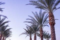 Palmas de data do Arizona imagem de stock