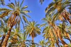 Palmas de data nas selvas, oásis de Tamerza, Sahara Desert, Tunísia, Af Fotos de Stock Royalty Free