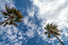 Palmas de fã de Califórnia Fotografia de Stock Royalty Free