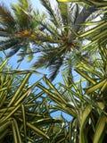Palmas de Guadalupe fotografía de archivo