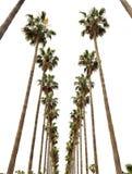 Palmas de Hollywood Fotografia de Stock Royalty Free