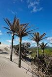 Palmas de Nikau em uma duna de areia fotografia de stock royalty free