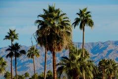 Palmas del desierto Imágenes de archivo libres de regalías
