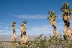 Palmas del desierto de Anza-Borrego Fotografía de archivo