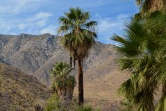 Palmas del desierto en Andreas Canyon Imagen de archivo libre de regalías