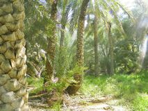 Palmas del milagro, UAE Fotografía de archivo libre de regalías
