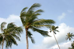 Palmas e vento. Fotos de Stock