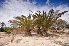 Palmas em Fuerteventura Imagem de Stock