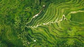 Palmas em uma plantação do campo do arroz foto de stock royalty free