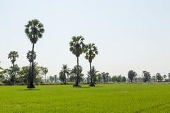 Palmas en el arroz que siembra la planta Fotografía de archivo libre de regalías