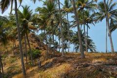Palmas. Goa, la India Imagen de archivo