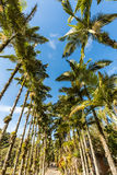 Palmas imperiales en el parque de Malwee Jaragua hace Sul, Santa Catarina fotos de archivo