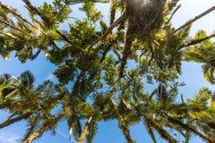 Palmas imperiales en el parque de Malwee Jaragua hace Sul, Santa Catarina imagenes de archivo