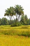 Palmas no campo do arroz fotografia de stock royalty free
