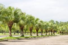 Palmas verdes plantadas en un parque Fotografía de archivo