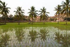 Palmas y arroz Imagen de archivo libre de regalías