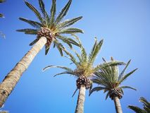 Palmas y cielo azul Foto de archivo libre de regalías