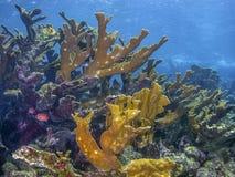 Palmata de corail d'Acropora d'Elkhorn Photo stock